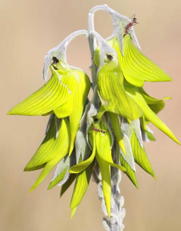 Thiên nhiên kỳ thú: Loài hoa có cánh trông giống hệt chim ruồi khiến cộng đồng Reddit bàn tán rôm rả