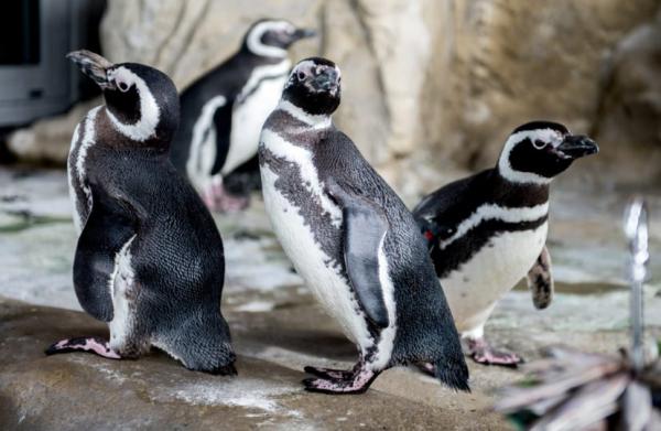 Sở thú tại London hưởng ứng Pride Month: Chim cánh cụt cũng có quyền tự hào về xu hướng tính dục của mình