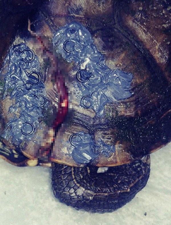 Người dân thi nhau quyên góp móc áo ngực cũ để giúp đỡ những chú rùa bị vỡ mai