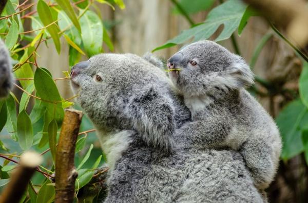 Úc cho phép bạn nhận nuôi 1 chú koala vì những lí do đặc biệt này