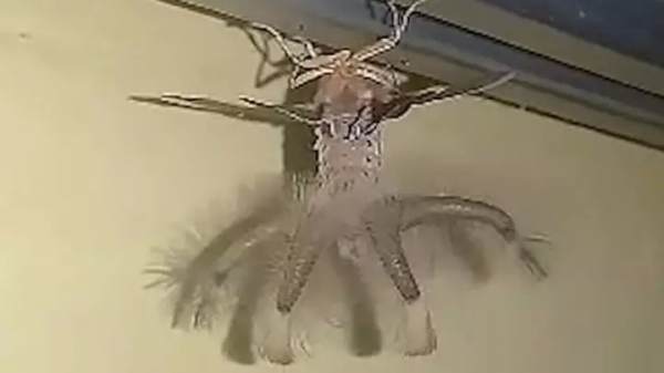 Hoảng hốt phát hiện sinh vật 'giống như đến từ hành tinh khác' ngay trên trần nhà mình