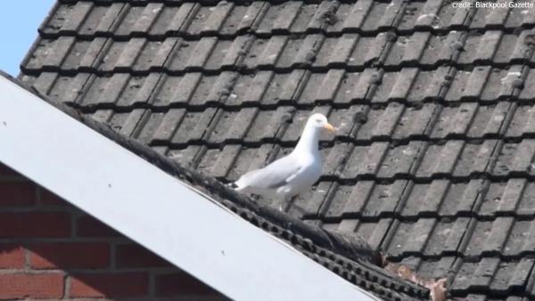 Anh vẹt cáu kỉnh phá tung hàng rào gai chống chim làm tổ, dọn chỗ cho bạn gái đậu