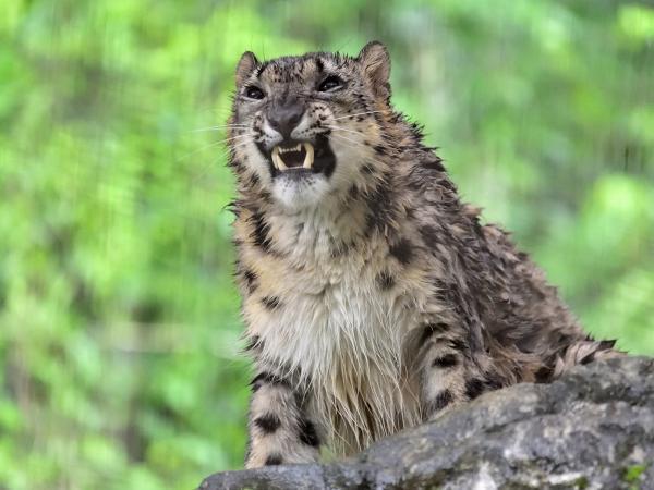 Cười đau bụng với hình ảnh chú báo đốm mắc kẹt trên cây