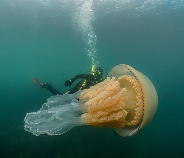 Cảnh tượng ngoạn mục khi nữ thợ lặn chạm trán với sứa thùng khổng lồ