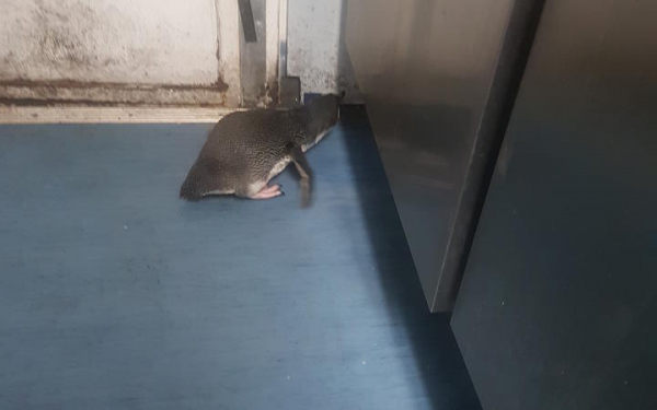 Đôi chim cánh cụt trốn trong nhà hàng sushi dù bị cảnh sát 'áp giải' đi nơi khác vẫn cố tình quay trở về chỗ cũ