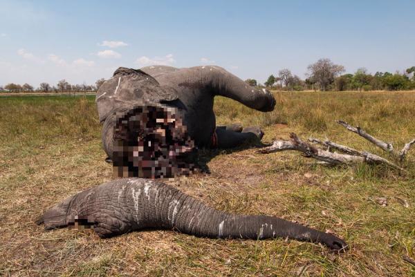 Hình ảnh chú voi bị giết lấy ngà, nằm chơ vơ trên đồng cỏ khiến cả thế giới trào nước mắt phẫn nộ
