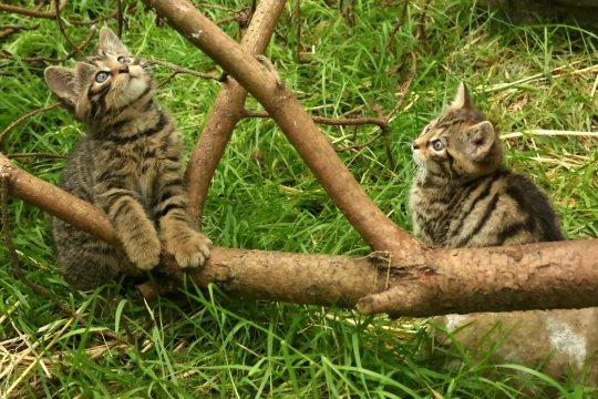 Chiêm ngưỡng những chú mèo hoang Scotland quý hiếm lần đầu được nhân giống thành công