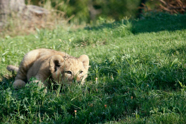 'Chết chìm' trong sự đáng yêu của Bahati - nguyên mẫu của 'Vua Sư Tử' Simba khi còn bé