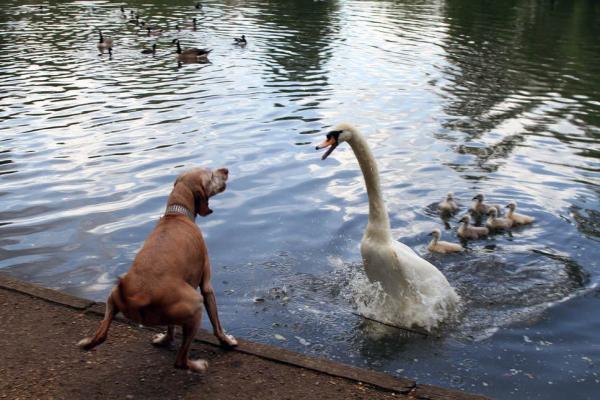 Thiên nga hung hãn tấn công chú chó cưng đến chết