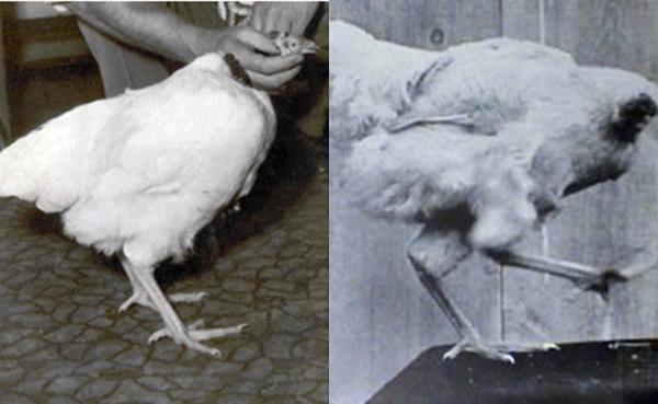 Khoảnh khắc miếng thịt gà 'sống lại' và tung tăng chạy khỏi đĩa khiến nữ thực khách hét thất thanh