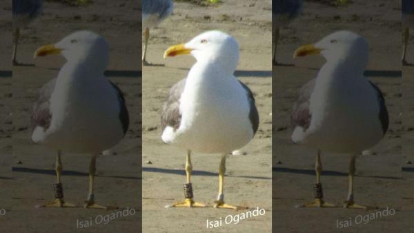 Đây là chú chim mòng biển được mệnh danh là 'nhanh nhất thế giới'