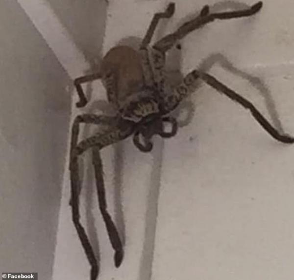 'Nhện quái vật' to bằng bàn tay xâm chiếm ngôi nhà tại Úc khiến gia chủ muốn đốt nhà