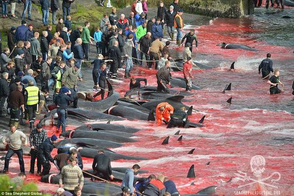 Nạn săn cá voi đáng báo động: Đảo Faroe nhuốm máu 23 chú cá voi