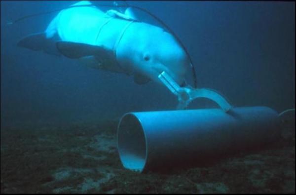 Cá voi và cá heo trong quân đội: Chúng làm những nhiệm vụ gì và ai là người sử dụng chúng?