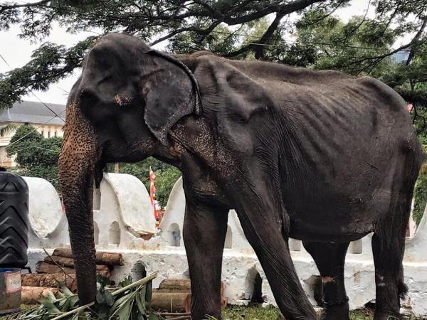 Đau xót trước hình ảnh thân thể da bọc xương bị giấu sau lớp áo biểu diễn của con voi 70 tuổi