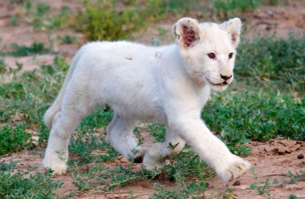 Hai bé sư tử trắng vừa ra đời tại Pháp được đặt tên là Simba và Nala