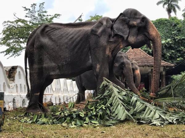 Hình ảnh mới nhất của chú voi 70 tuổi gầy trơ xương cho thấy nó đã ngã quỵ và đang nằm chờ chết