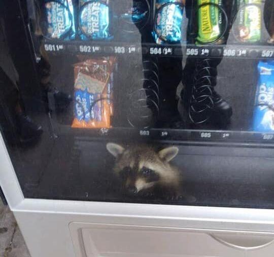 Mặt hàng này còn không? Gấu mèo bất ngờ xuất hiện trong... máy bán hàng tự động