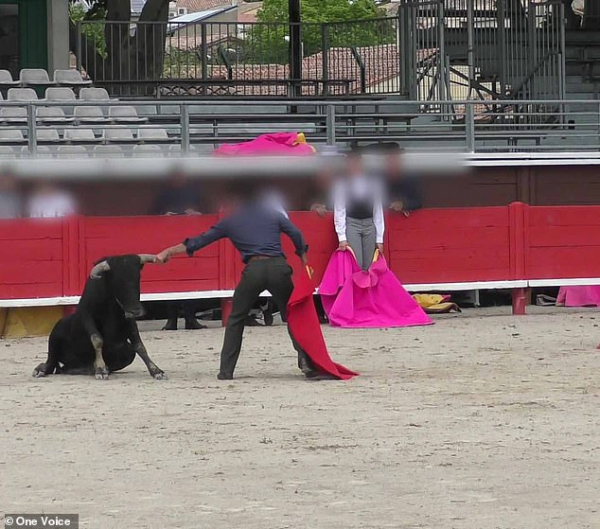Bò đực kiệt sức ngã quỵ sau khi phải tập luyện không ngừng nghỉ tại một trường đấu ở Pháp