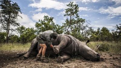 Tại sao người Việt Nam lại tiêu thụ sừng tê giác nhiều đến vậy?