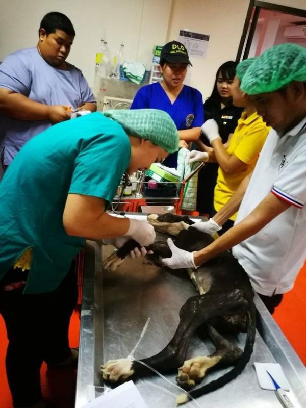 Nhà vua Thái Lan lệnh giải cứu và tìm người nhận nuôi đàn chó chỉ còn da bọc xương vì bị chủ bỏ rơi