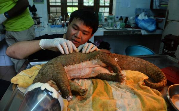 Nhu cầu tiêu thụ vảy tê tê ở Trung Quốc và Việt Nam tăng mạnh, liệu tê tê có đang đối diện với nguy cơ tuyệt chủng?