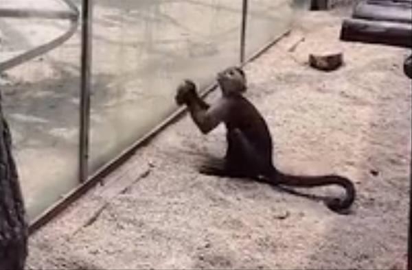 Chú khỉ thông minh tự mài đá, đập cửa kính để trốn thoát khỏi sở thú