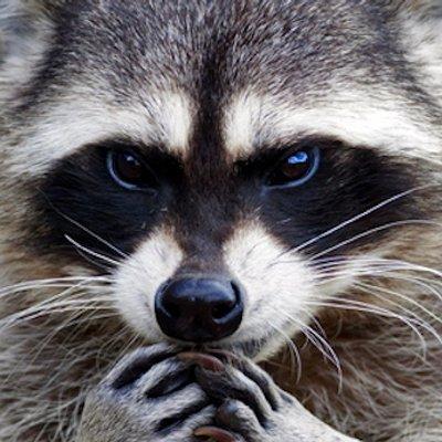 Muốn nuôi Raccoon dễ thương? Hãy nghĩ lại đi vì lũ gấu mèo này rất nguy hiểm!