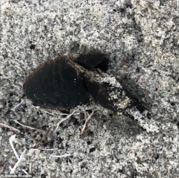 Rùa biển mới nở bị thiêu chết trên bãi biển ở Florida khiến người dân địa phương phẫn nộ