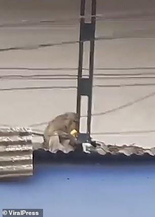 Khỉ bắt giữ mèo làm con tin rồi thản nhiên ăn chuối trên mái nhà