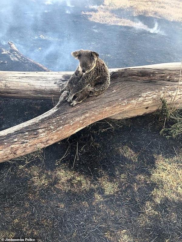 Koala mẹ bị bỏng lưng khi lấy thân che chắn cho con trong cơn bão lửa càn quét nước Úc