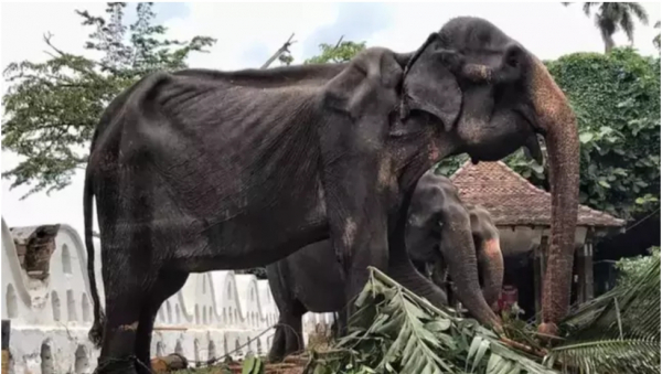 Có ít nhất 17 người bị thương sau khi một con voi 'hóa điên' tại buổi lễ diễu hành ở Sri Lanka