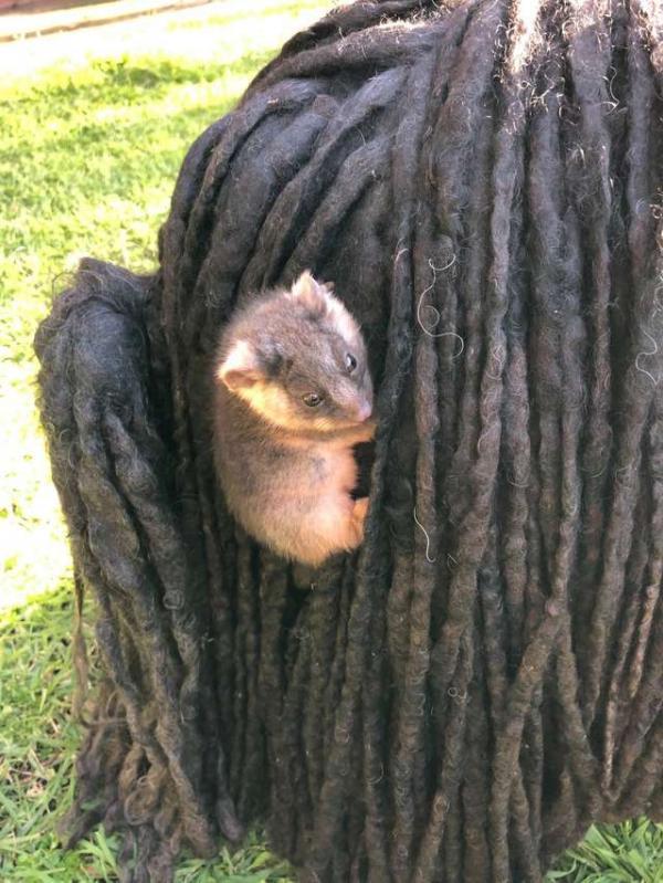 Bé possum bám vào lông chú chó Puli để 'quá giang'