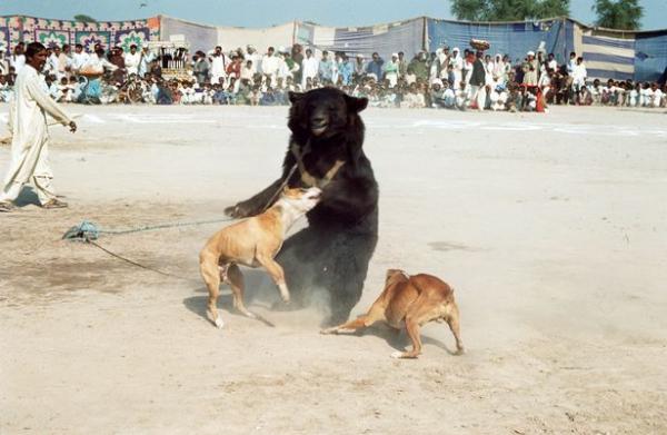 Chú gấu mù bị nhóm người độc ác giam cầm và buộc phải chiến đấu với những con chó