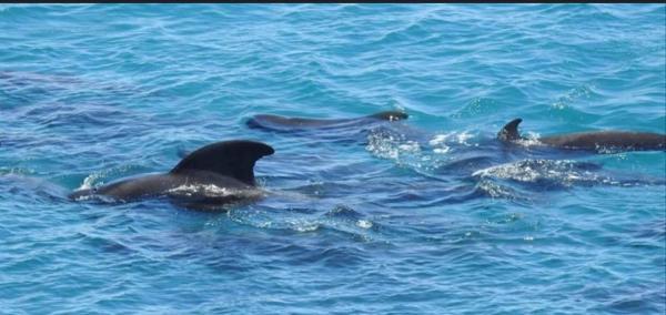 Gia đình cá voi quây quần, vỗ về nhau trước khi bị con người thảm sát
