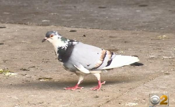 Chim bồ cầu 'cục súc' ị lên đầu nhà lập pháp khi ông đang thảo luận về vấn đề phân chim trong thành phố