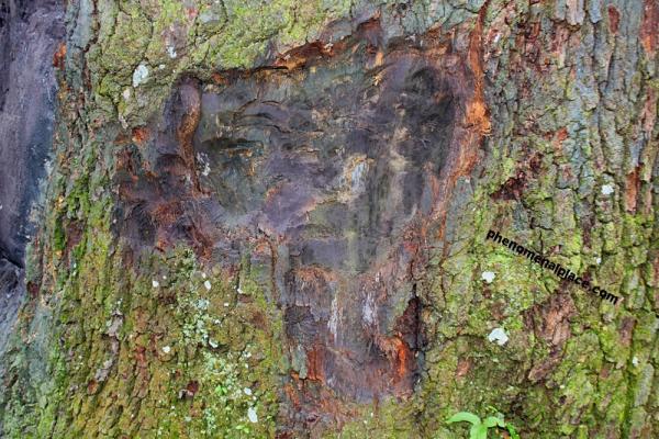 Câu chuyện đáng sợ về cây sồi hơn 150 tuổi bị nguyền rủa