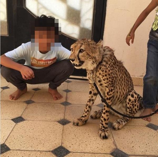 Báo săn có nguy cơ tuyệt chủng ở châu Phi vì 3/4 báo con đang bị buôn lậu để làm thú cưng