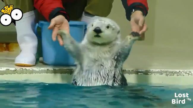 Biểu cảm đáng yêu của hải ly khi xuống nước