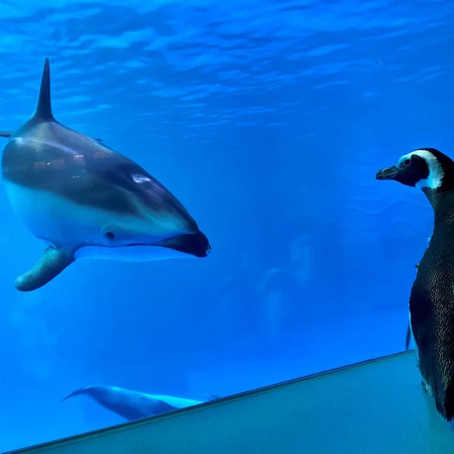 Cánh cụt được tự do tham quan khi thủy cung đóng cửa vì COVID-19
