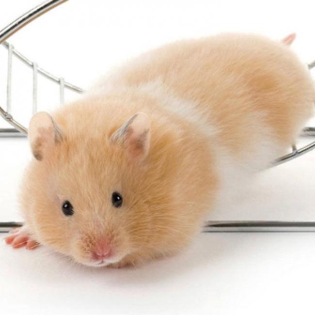 Hamster đứng hình khi bị phát hiện trốn đi chơi