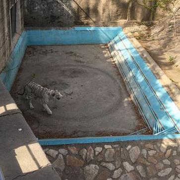 Hổ trắng buồn bã đi thành một vòng tròn bất tận trong chuồng nhốt