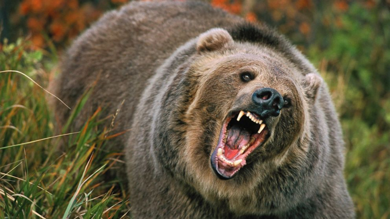 Thợ săn người Nga bị ăn thịt bởi con gấu mà ông nuôi từ bé