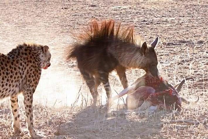 'Đấu trường sinh tử' nơi hoang mạc: báo đốm, linh cẩu và chó rừng tranh nhau con mồi