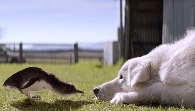 Bị lũ cáo thảm sát từ 1000 con còn 4, chim cánh cụt ở Úc đã 'hồi sinh' trở lại nhờ vệ sĩ chó