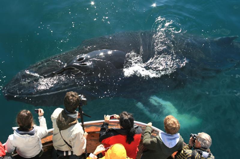 Iceland lên kế hoạch thảm sát hơn 2000 cá voi gây tranh cãi dữ dội