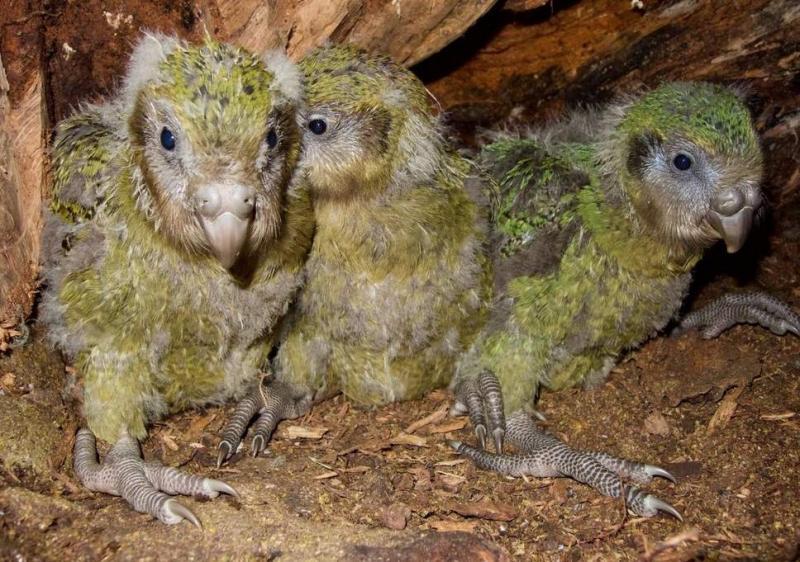 Suýt tuyệt chủng vì thật thà và... lười đẻ, vẹt Kakapo thành công sống sót nhờ bí quyết này