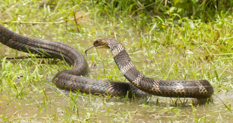 Bắt được 'rắn hổ mây' quý hiếm ở Việt Nam, thực hư về loài rắn huyền thoại này như thế nào?