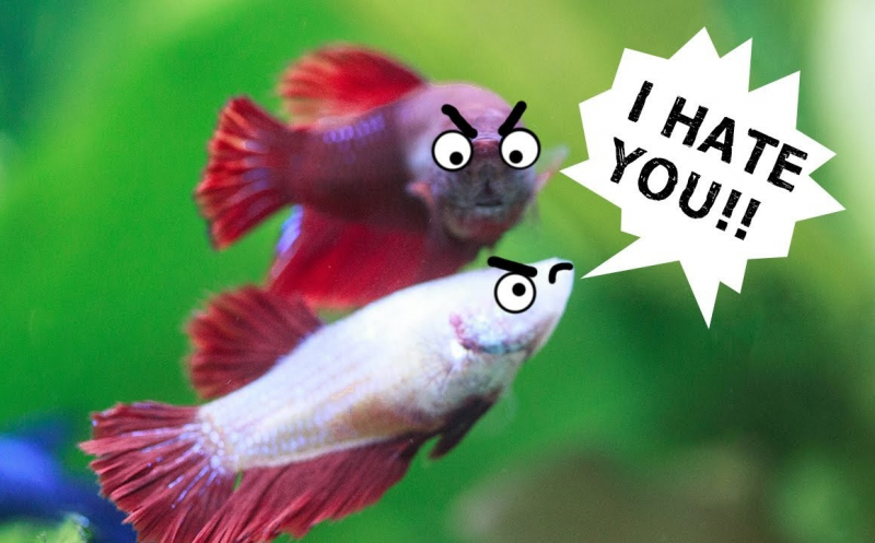Cá Betta trống: Những ông bố xinh đẹp và đảm đang trong thế giới động vật