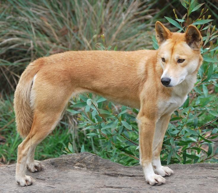 4 giống chó bản địa Việt Nam thông minh lại có khí chất 'quý tộc' nhưng ít người biết